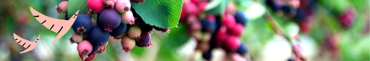 Close up photo of Saskatoon berries of pink, blue and purple against their bright green leaves, with two coral coloured hand drawn birds superimposed