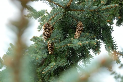 Pine cones and branches of pine tree.