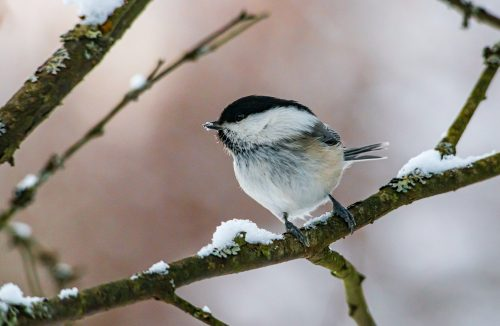 Picture of a chickadee by Erik Karits from pexels.